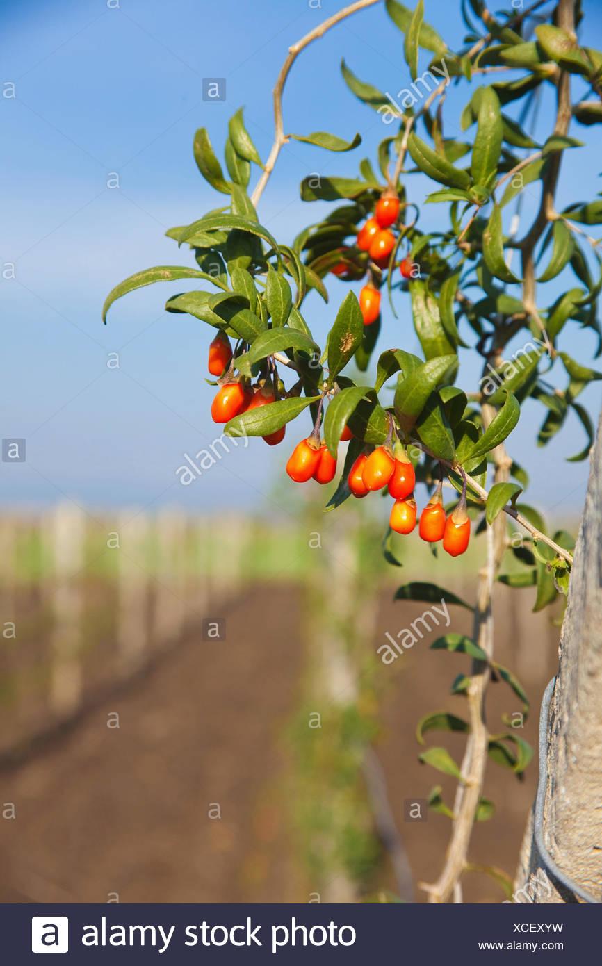 Wolf Berry Goji Berry Lycium Barbarum Mass Of Red Berries