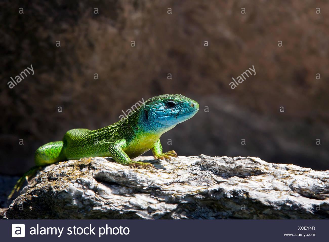 The European Green Lizard (Lacerta viridis) is a large lizard distributed across European midlatitudes, It is often seen sunning on rocks or lawns, or sheltering amongst bushes, Switzerland Europe Stock Photo