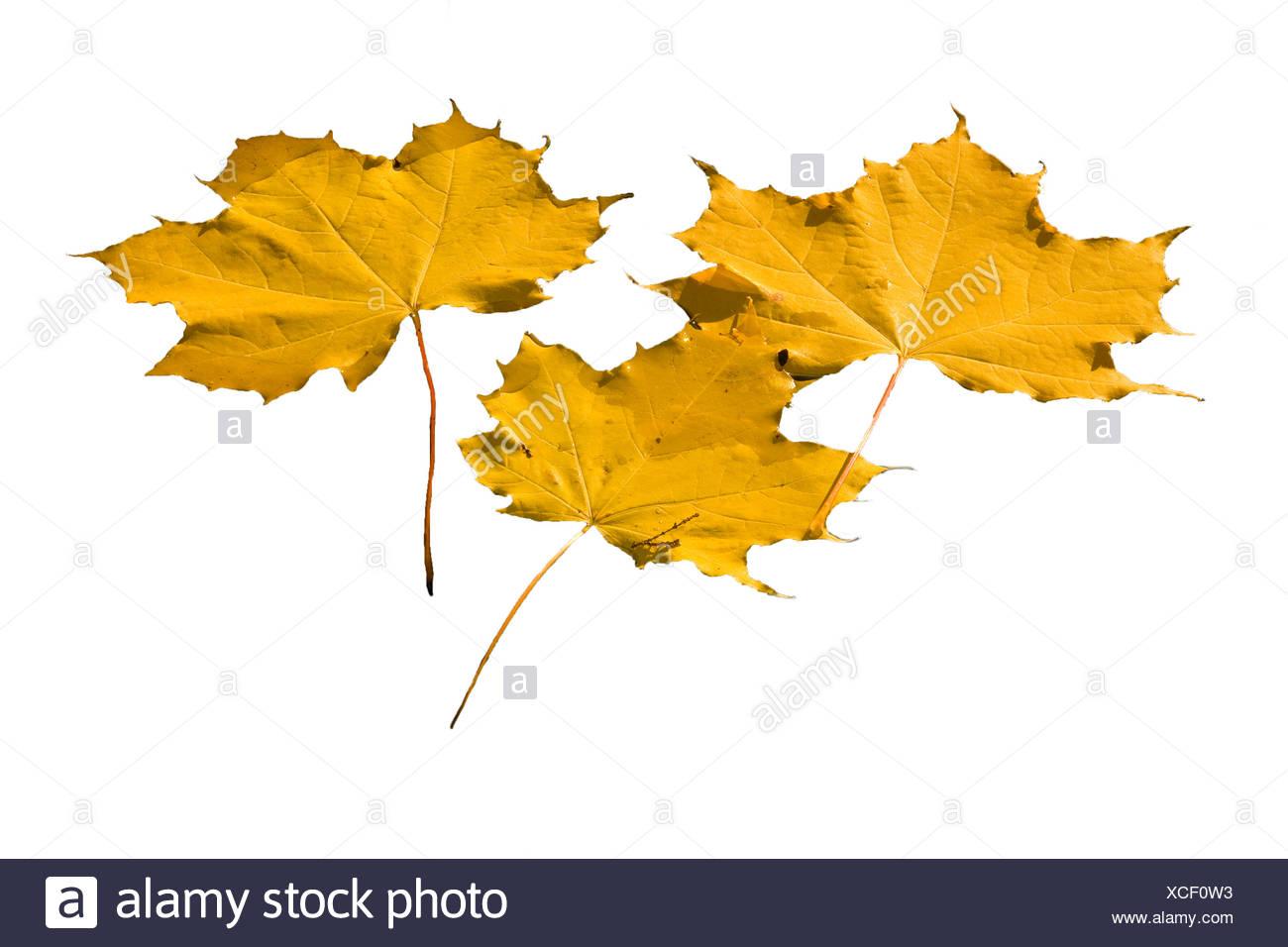 Leaves,Leaf,maple,autumn,water,maple leaf,three,yellow - Stock Image