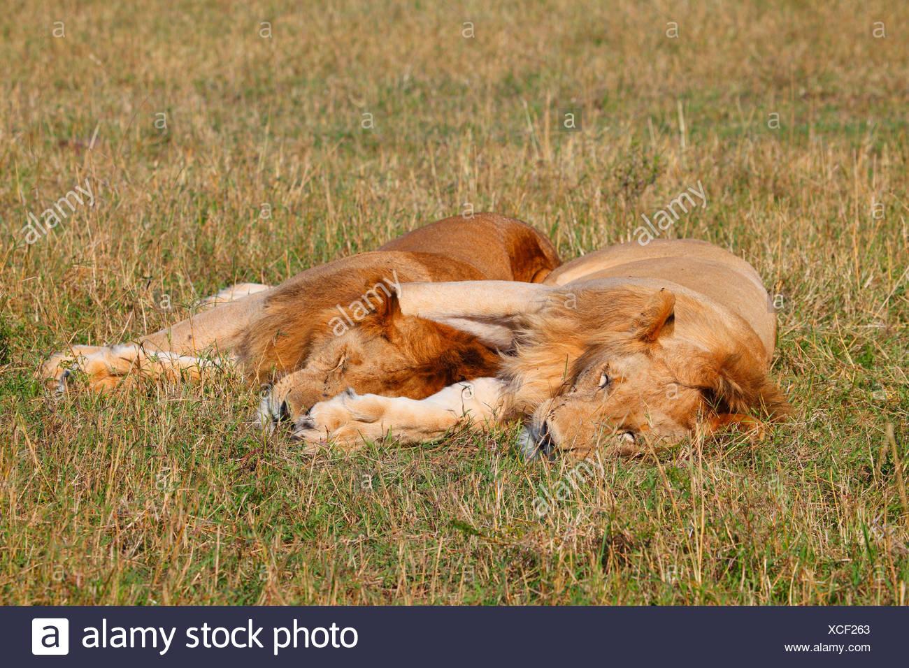 lion (Panthera leo), two sleeping males in savannah, Kenya, Masai Mara National Park - Stock Image