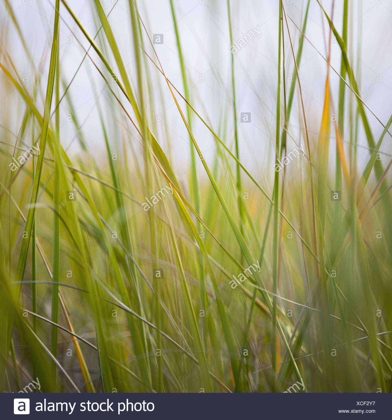 Close up of sea grasses on Long Beach Peninsula Long Beach Peninsula Washington USA Stock Photo