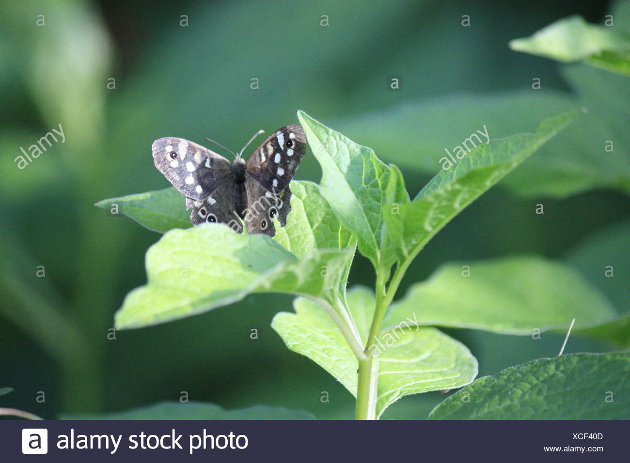 Foliage Butterfly on green plant - Stock Image