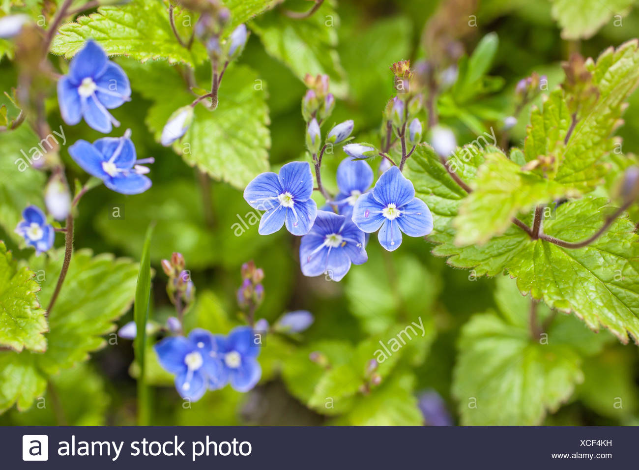 botany, prize (Veronica's Closet) in the mountains in South Tyrol, Italy, Additional-Rights-Clearance-Info-Not-Available - Stock Image
