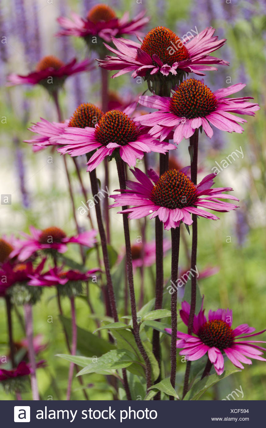 purple coneflower - Stock Image