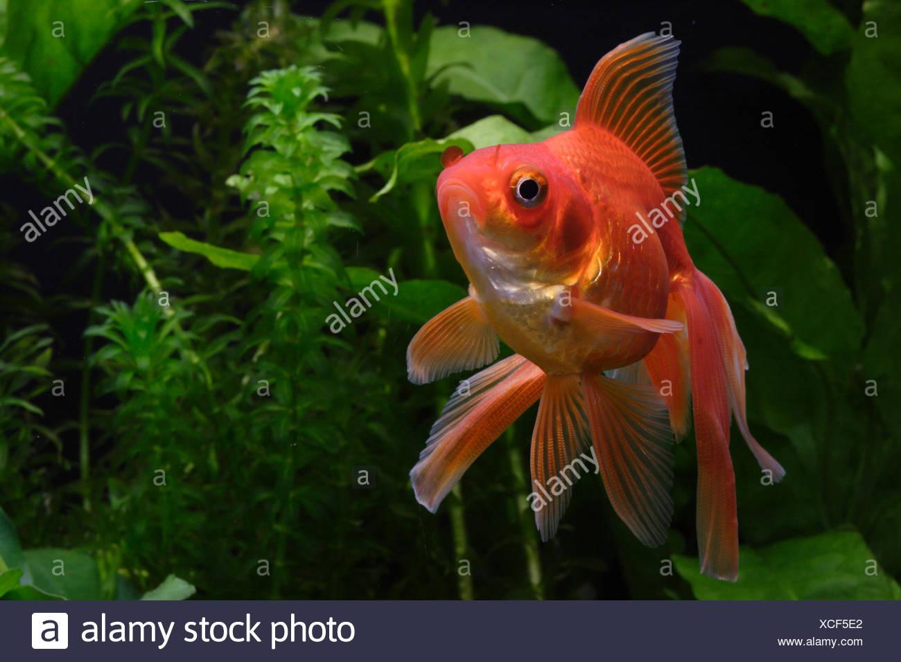 Ryukin Goldfish Stock Photo 283075354 Alamy