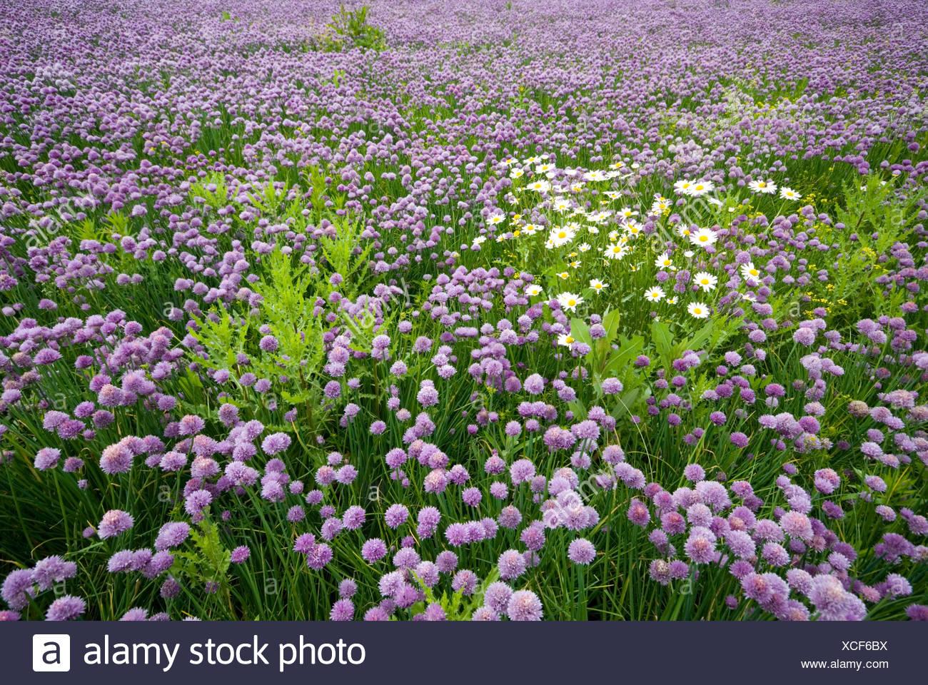 Field of Chives (Allium schoenoprasum), Voels, Tyrol, Austria, Europe Stock Photo