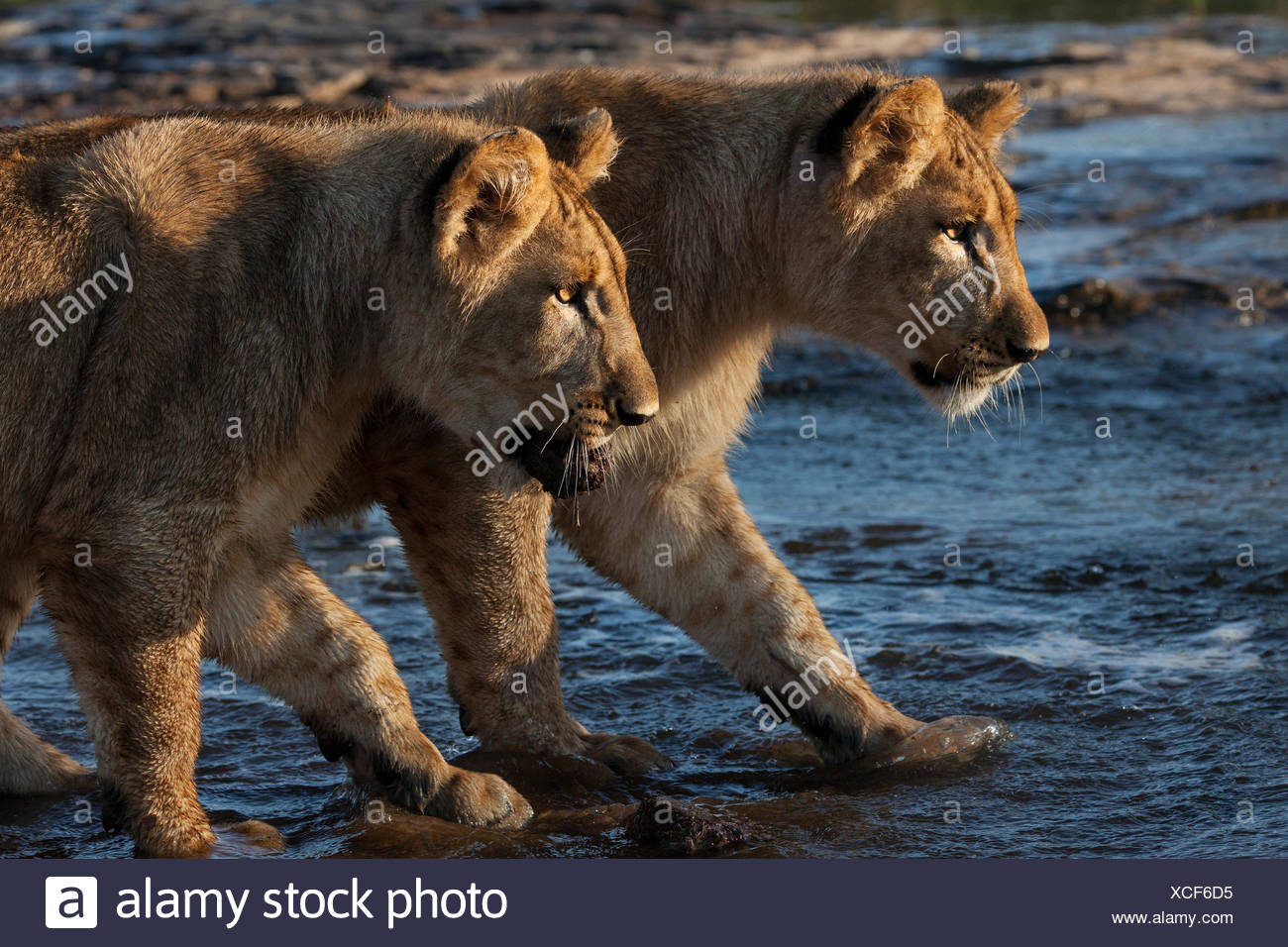 Two lion cubs, Panthera leo, stalk intently in shallow water. - Stock Image
