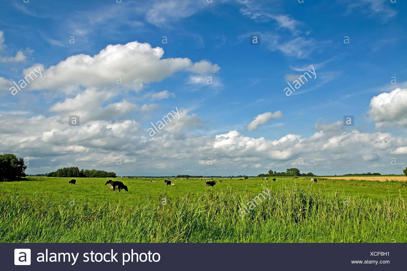East Frisia cow cows - Stock Image