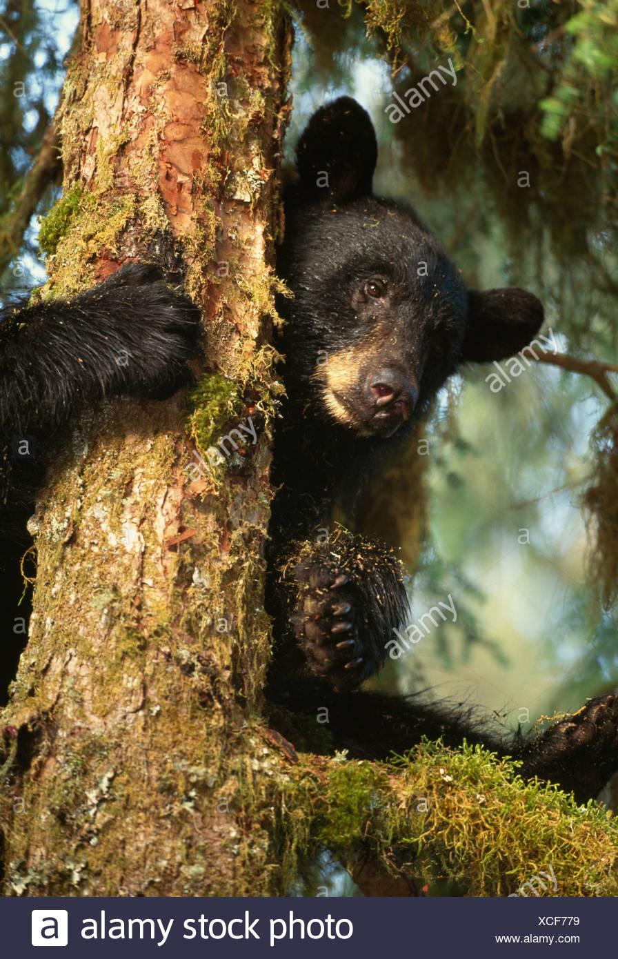 Black Bear climbs in a mossy rainforest tree, Alaska - Stock Image