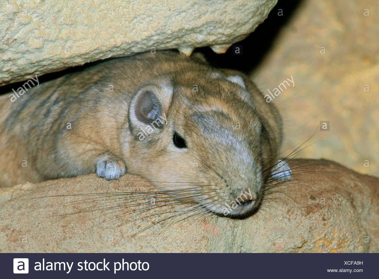 gundi (Ctenodactylus gundi), between rocks - Stock Image