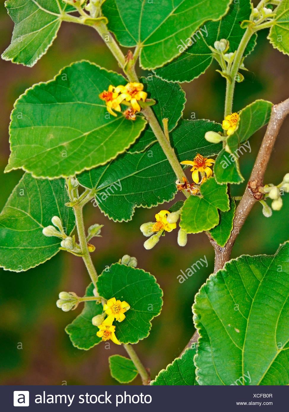 Grewia asiatica, Phalsa - Stock Image