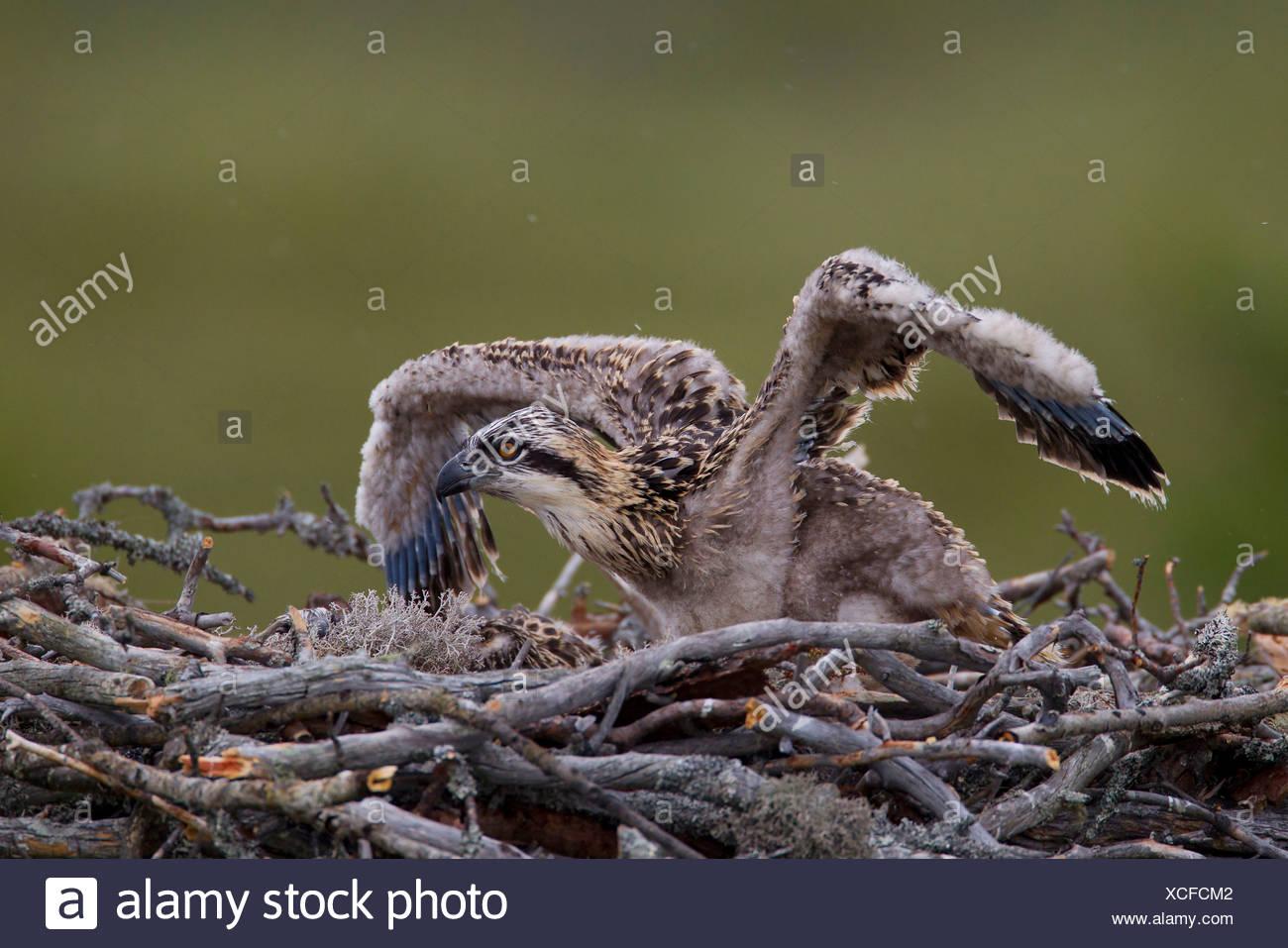 Osprey or Sea Hawk (Pandion haliaetus), young birds on an eyrie, Kajaani sub-region, Finland - Stock Image