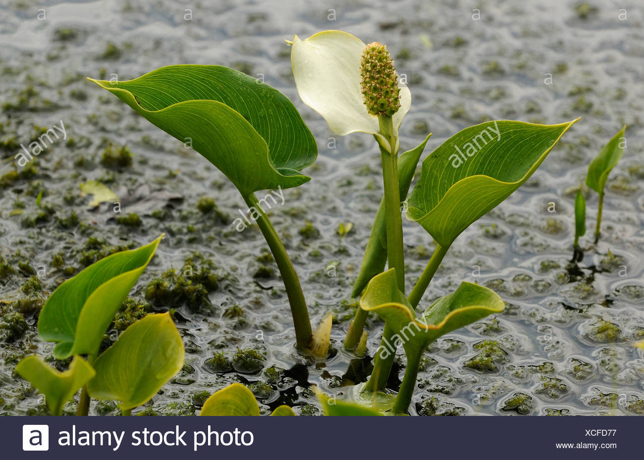 bog arum, wild calla (Calla palustris), blooming at mire border, Germany, Lower Saxony, NSG Grosses Torfmoor - Stock Image