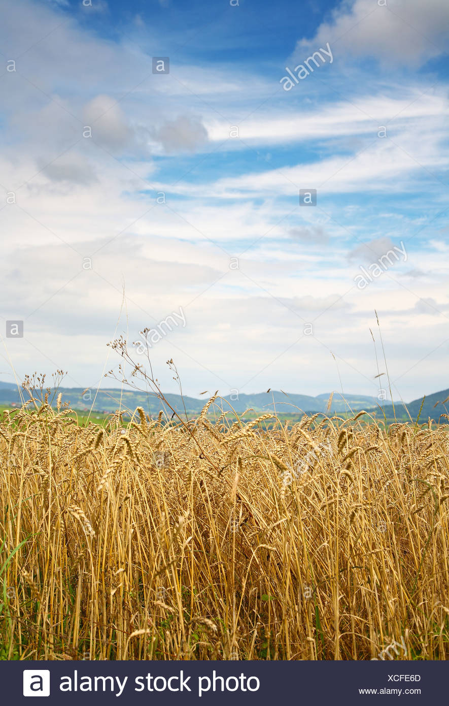 Gold wheat field - Stock Image