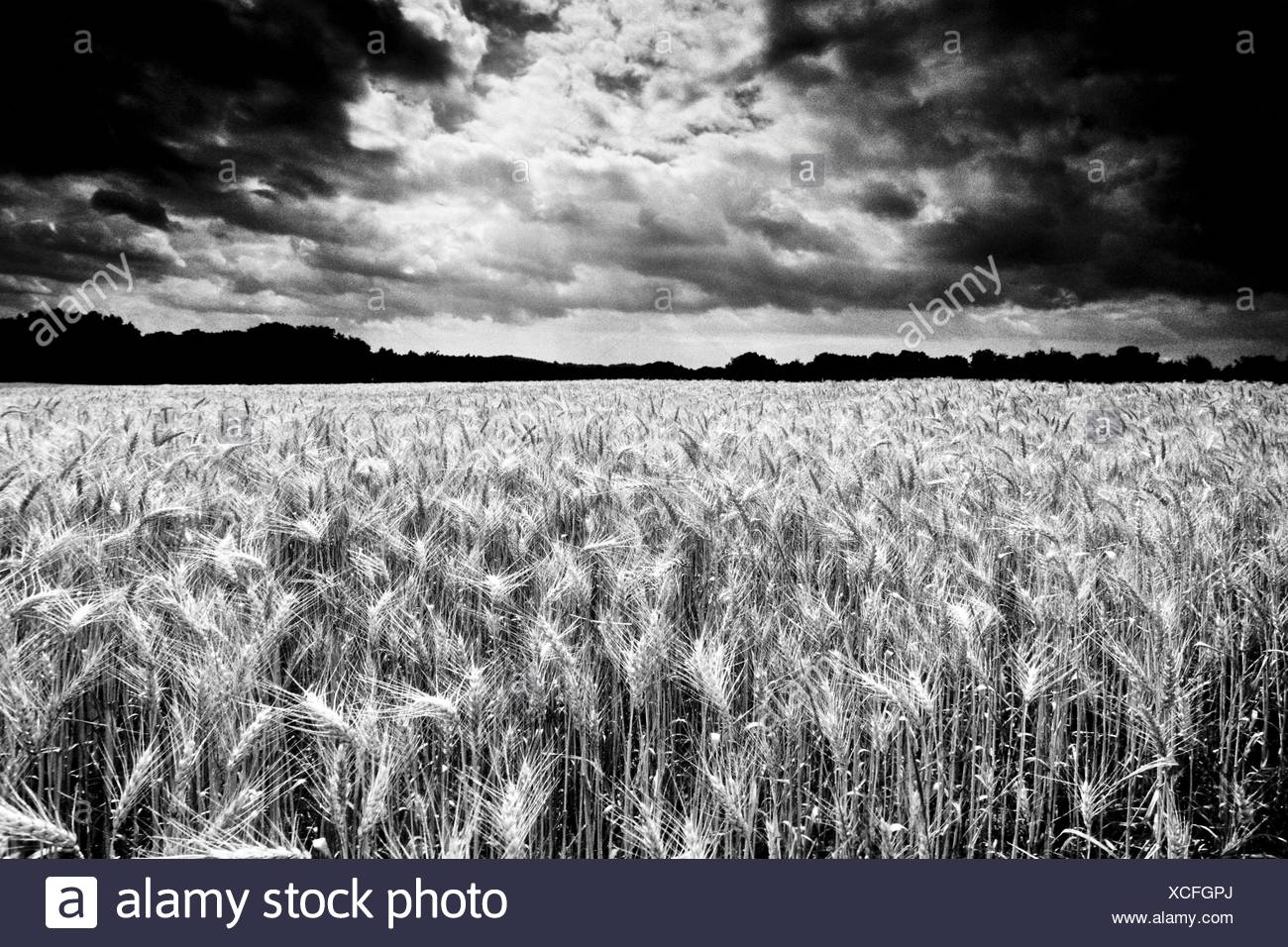 Wheat field ripe for harvest grain field dramatic clouds thunderclouds manipulated shot