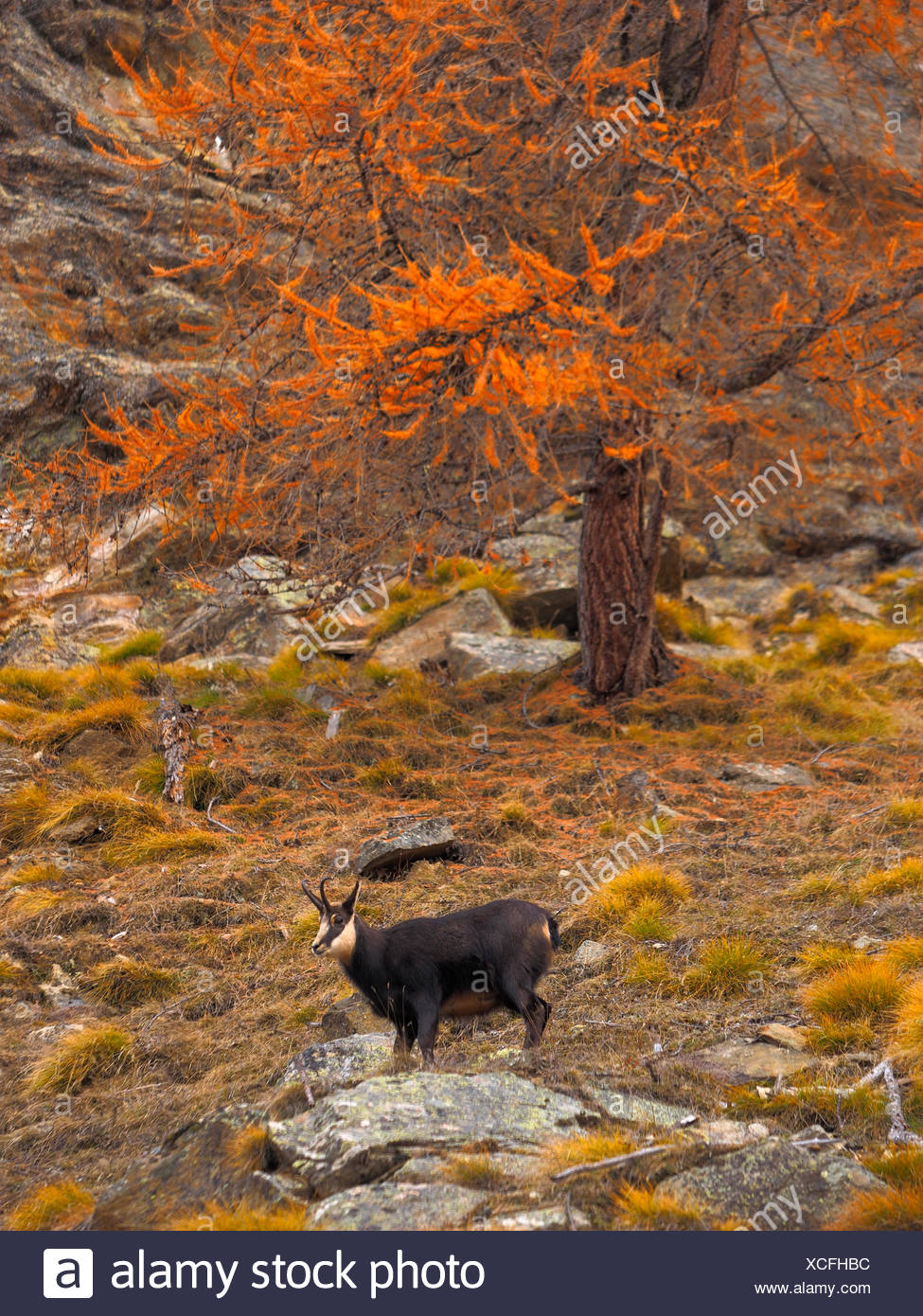 chamois (Rupicapra rupicapra), chamoison a slope in autumn, Italy, Gran Paradiso National Park - Stock Image