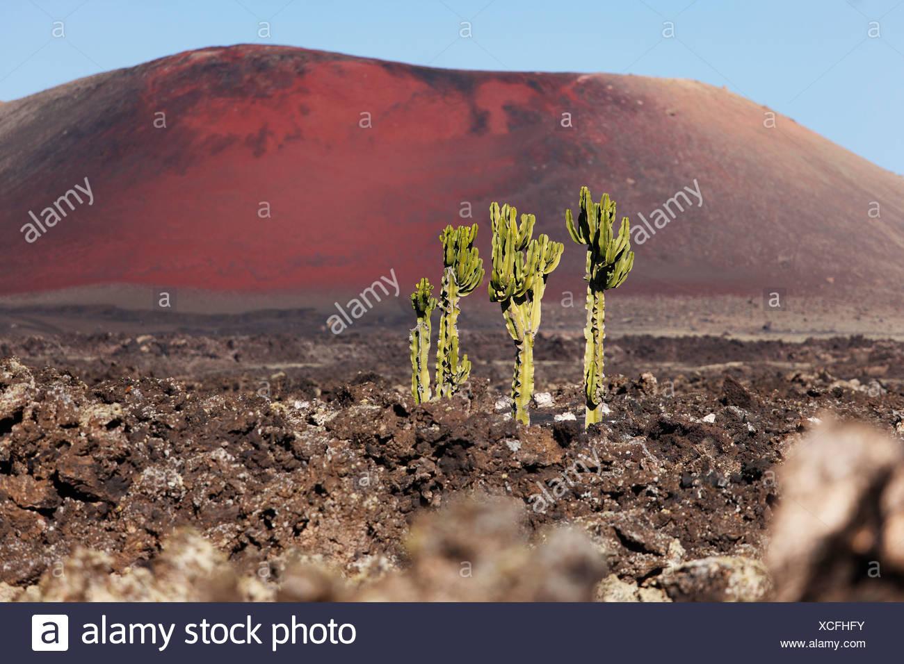 Spurge (Euphorbia) in a lava field, La Geria, Caldera Colorada volcano, Lanzarote, Canary Islands, Spain, Europe - Stock Image