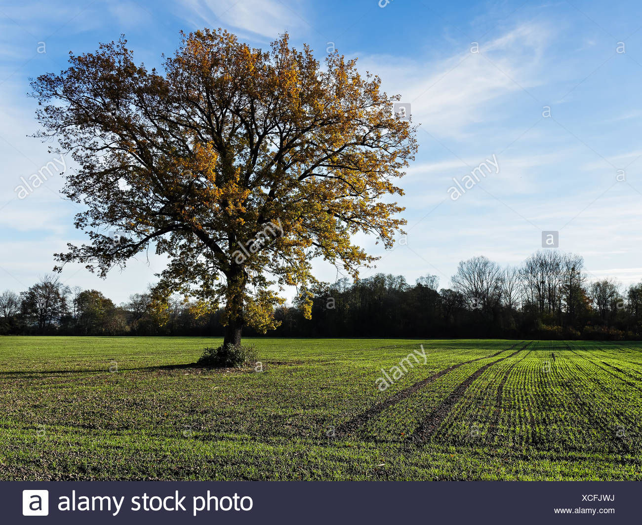 Oaks in the wheat field - Stock Image