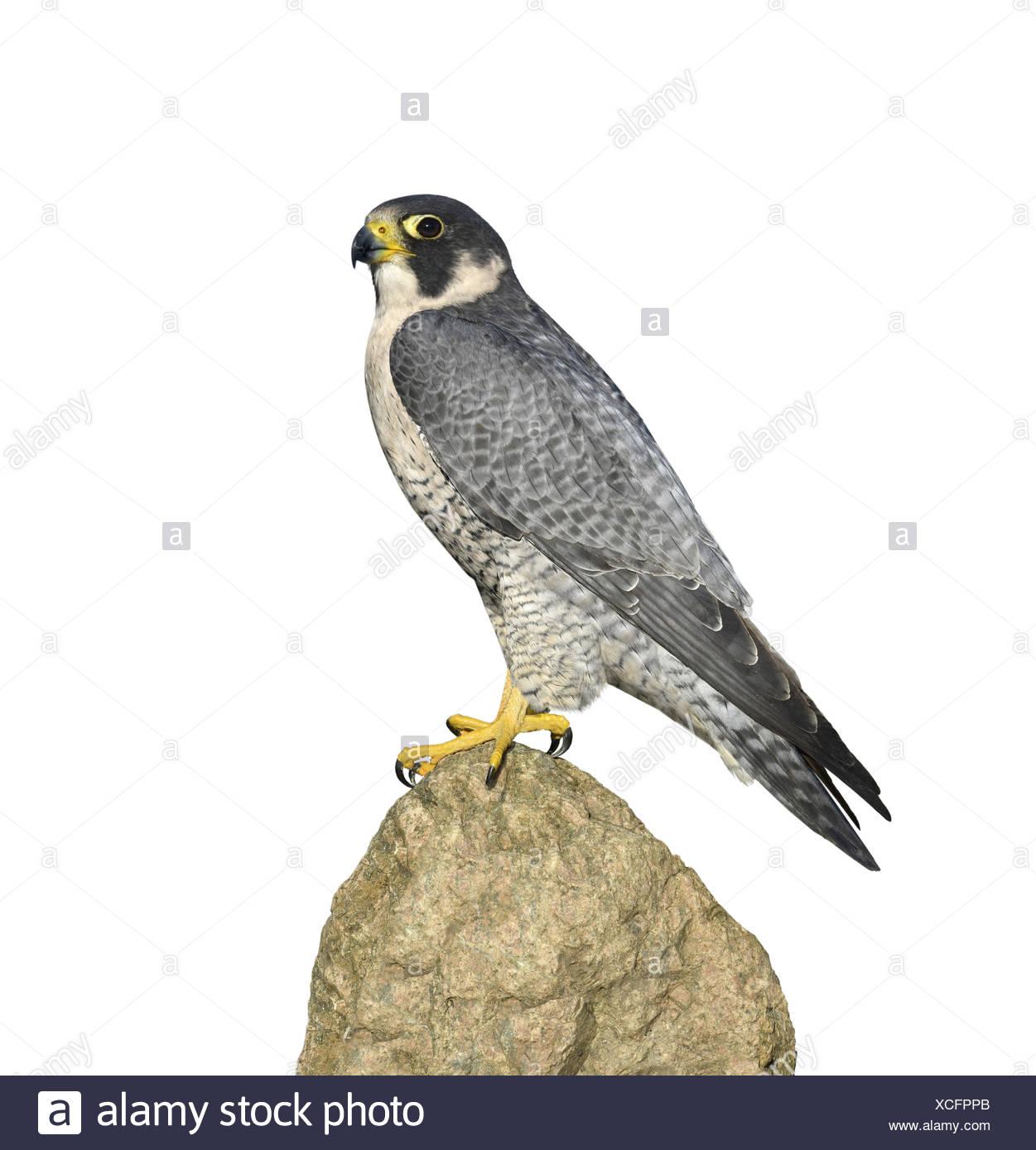 Peregrine - Falco peregrinus - Stock Image
