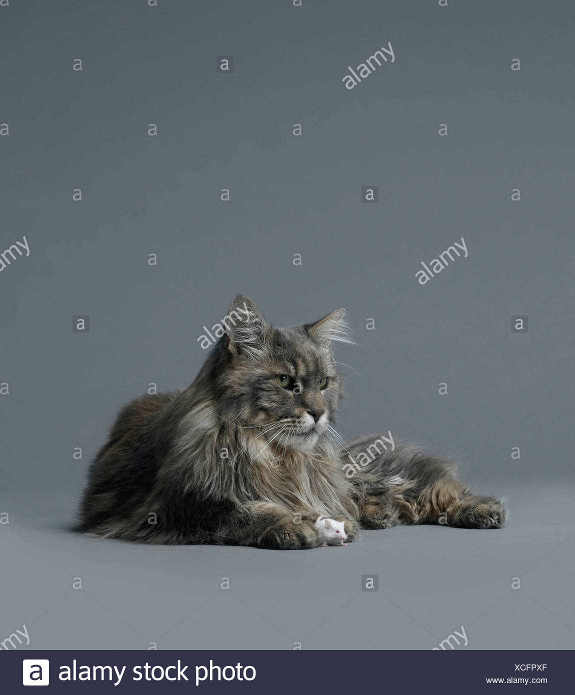 Mouse sitting between cats paws - Stock Image