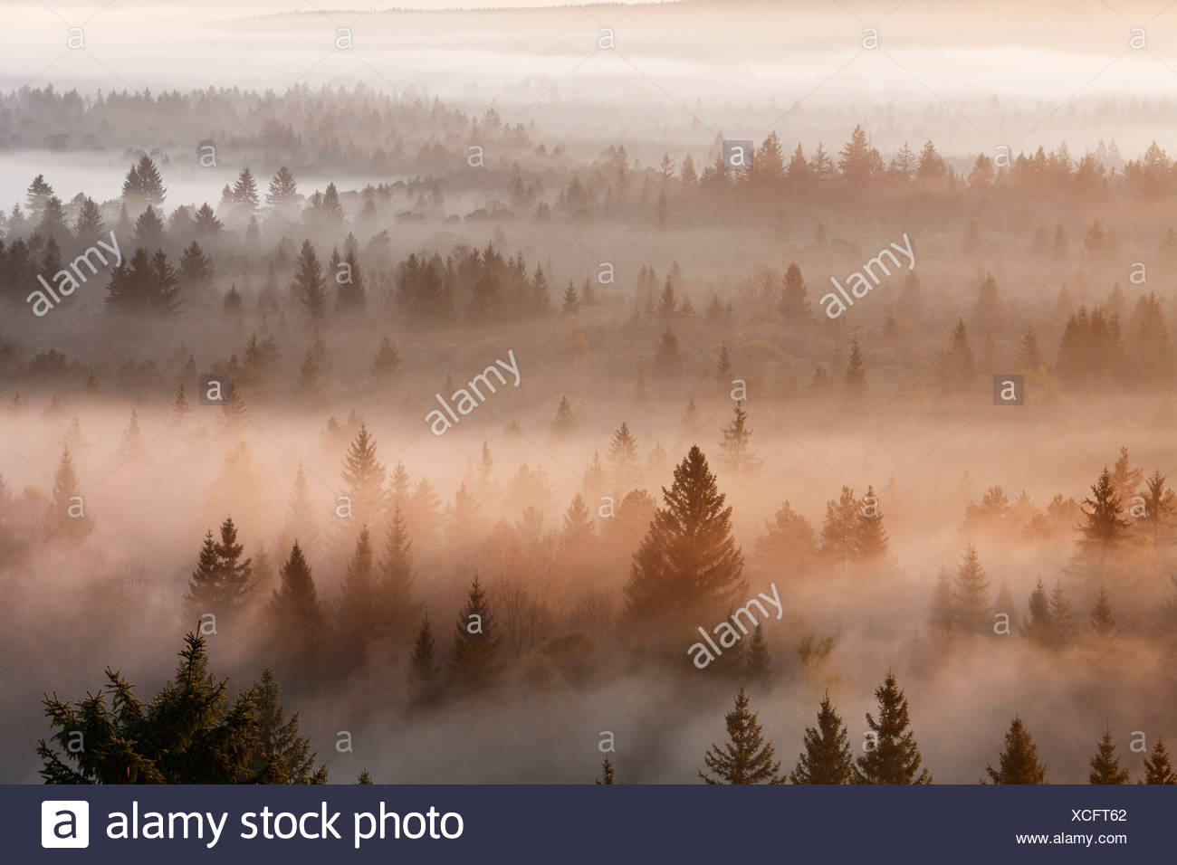 Conifer forest in morning fog, morning mood in the Pupplinger riparian forest near Wolfratshausen, Isar wetlands, Upper Bavaria - Stock Image