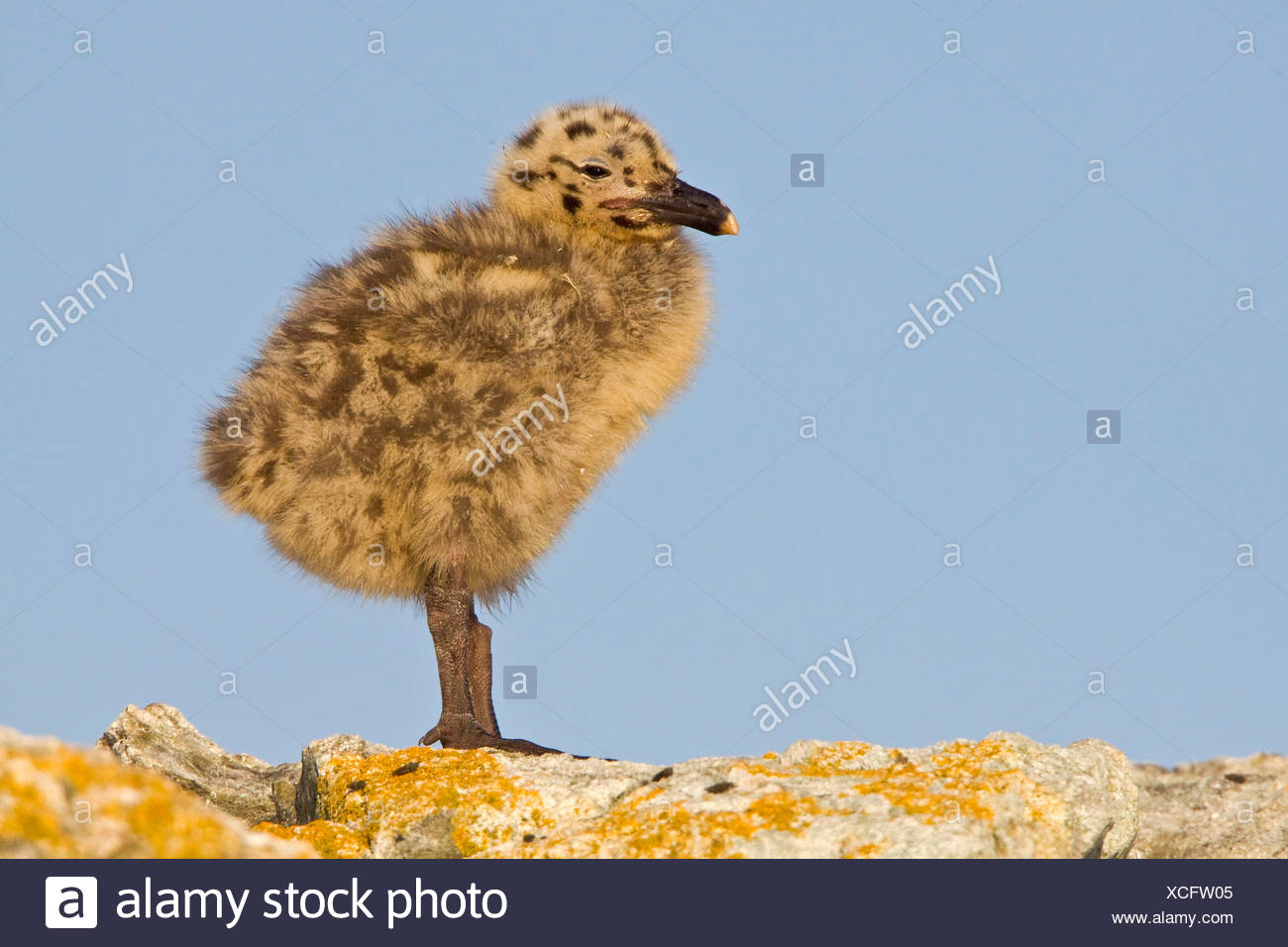 Glaucous-winged Gull (Larus glaucescens) perched on a rock in Victoria, BC, Canada. - Stock Image