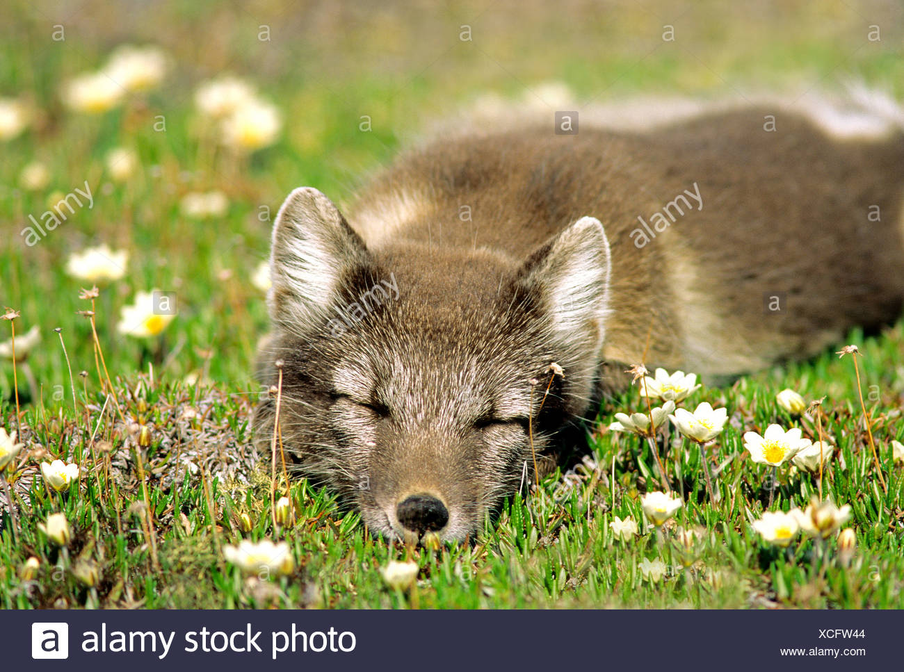 Arctic fox (Alopex lagopus) in summer pelage,    sleeping on a tundra of mountain avens (Dryas integrifolia), Arctic Canada. - Stock Image