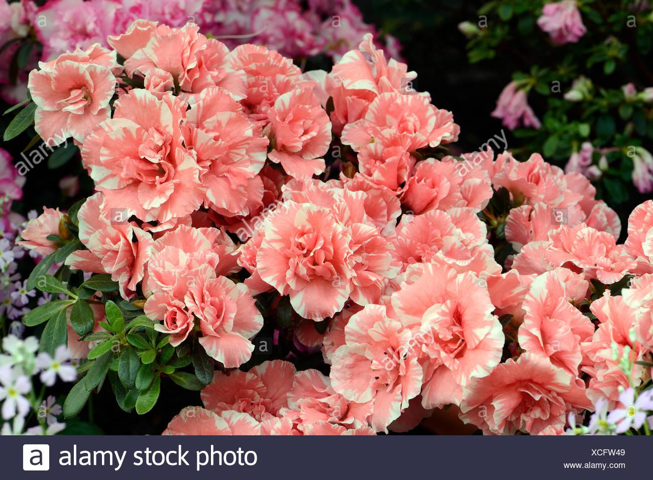 verschiedene Zuchtformen eines Rhododrendron (Rhododendron strigillosum ) Deutschland - Stock Image