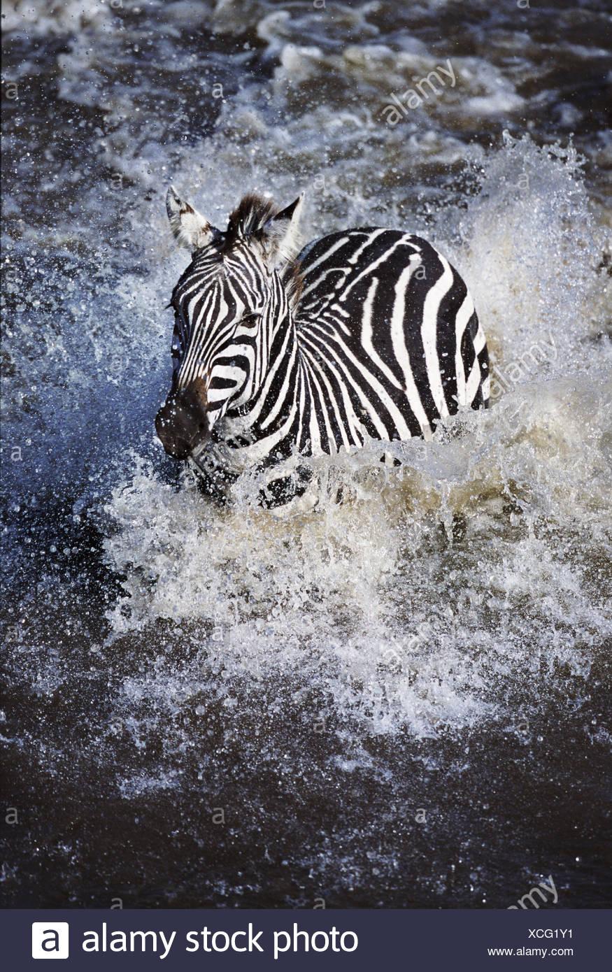 Zebra crossing Mara river during the Great Migration Kenya - Stock Image