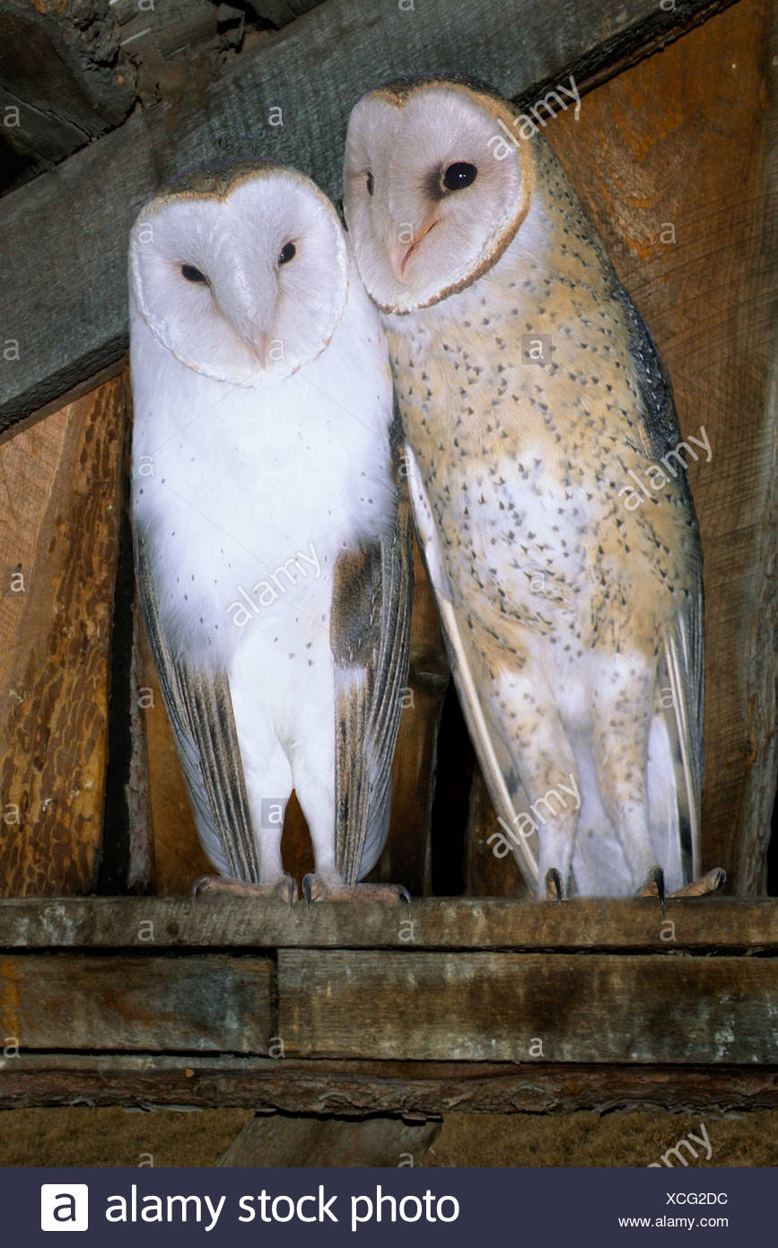 Courting adult barn owls (Typto alba), southern British Columbia, Canada Stock Photo