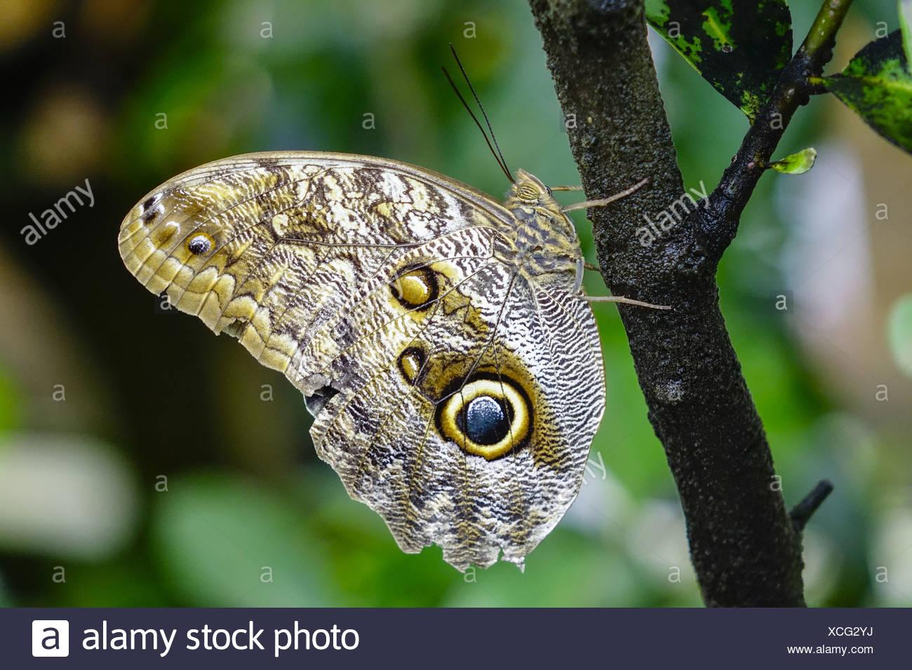 Tropischer Schmetterling, Bananenfalter (Caligo eurilochus) - Stock Image