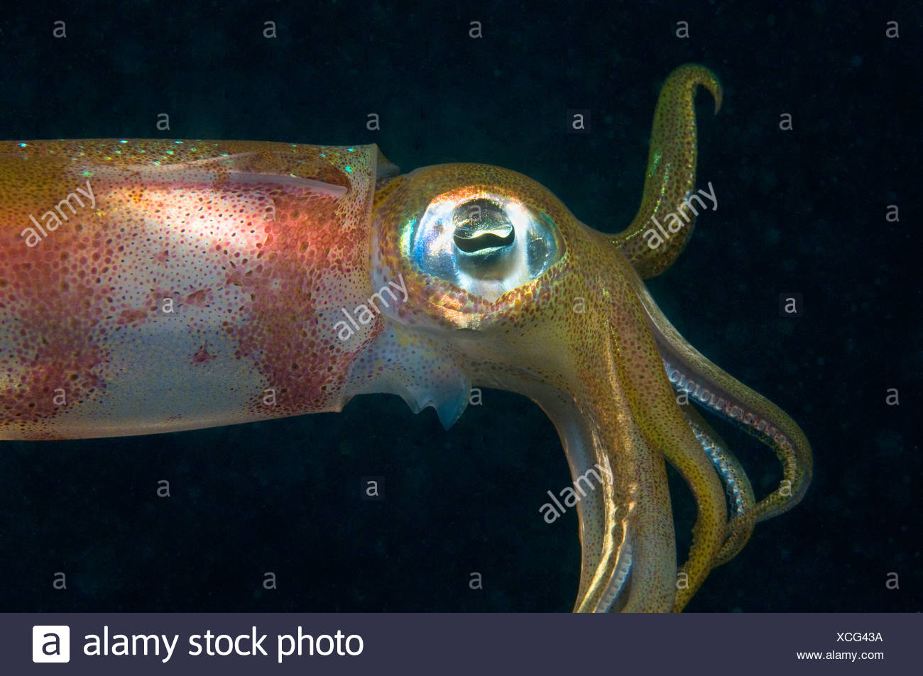 Egypt, Red Sea, Bigfin Reef Squid (Sepioteuthis lessoniana), side view, close-up - Stock Image