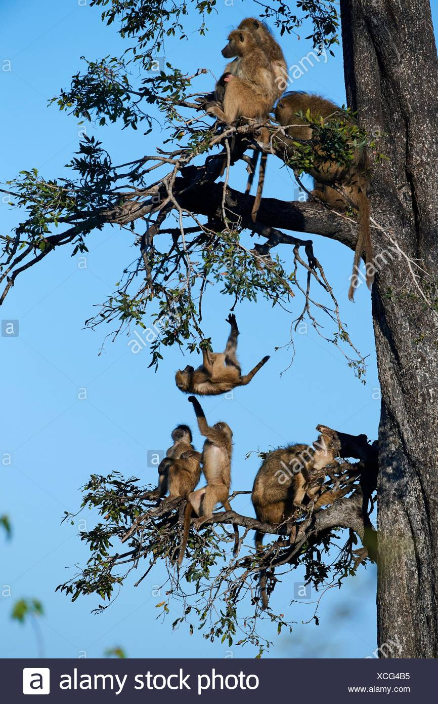 Chacma baboon family roosting in a tree (Papio ursinus) with juveniles playing, Duba Plains concession, Okavango delta, Botswana, Southern Africa. - Stock Image