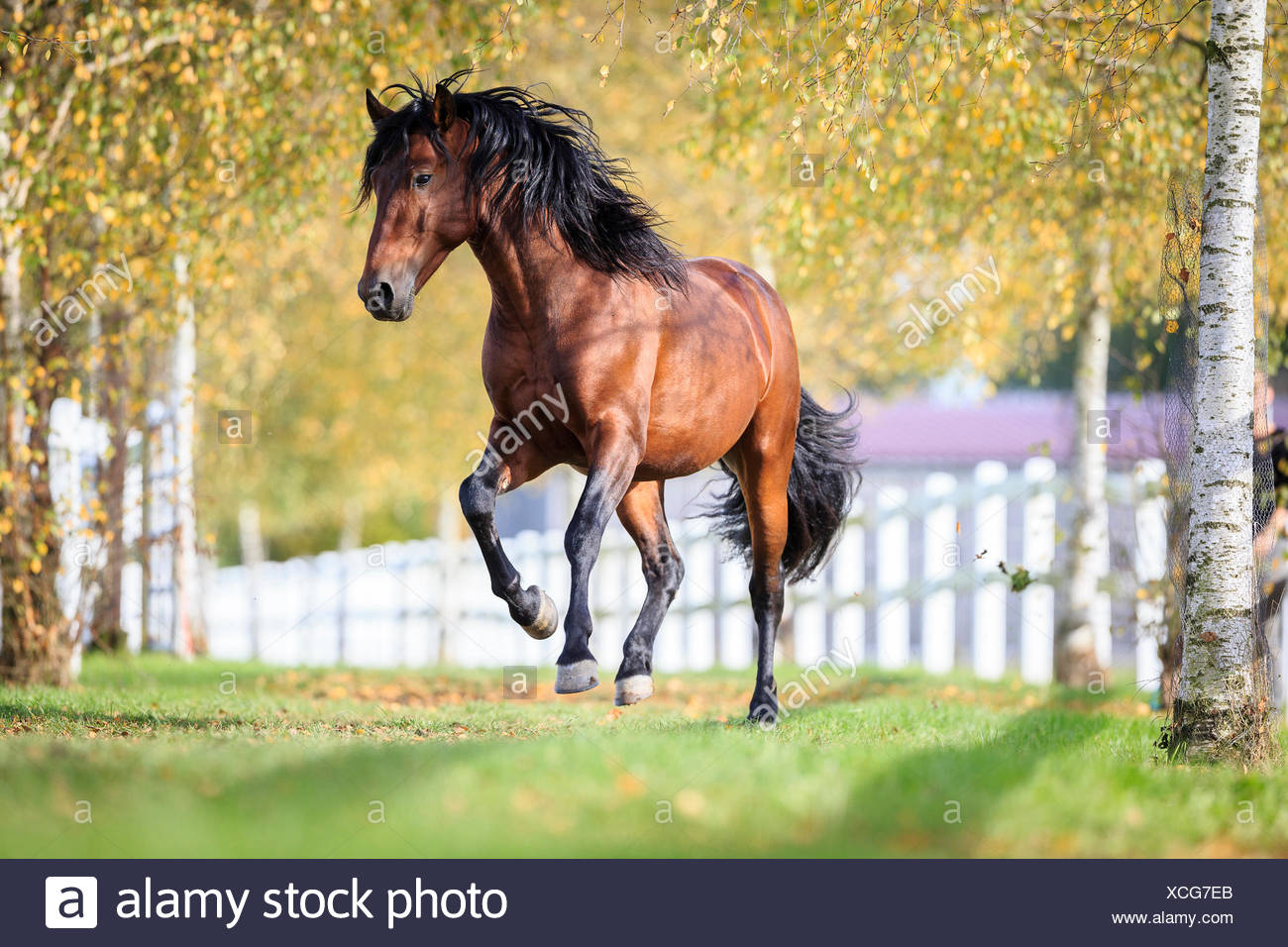 Pura Raza Espanola, Andalusian Bay gelding galloping pasture Stock Photo