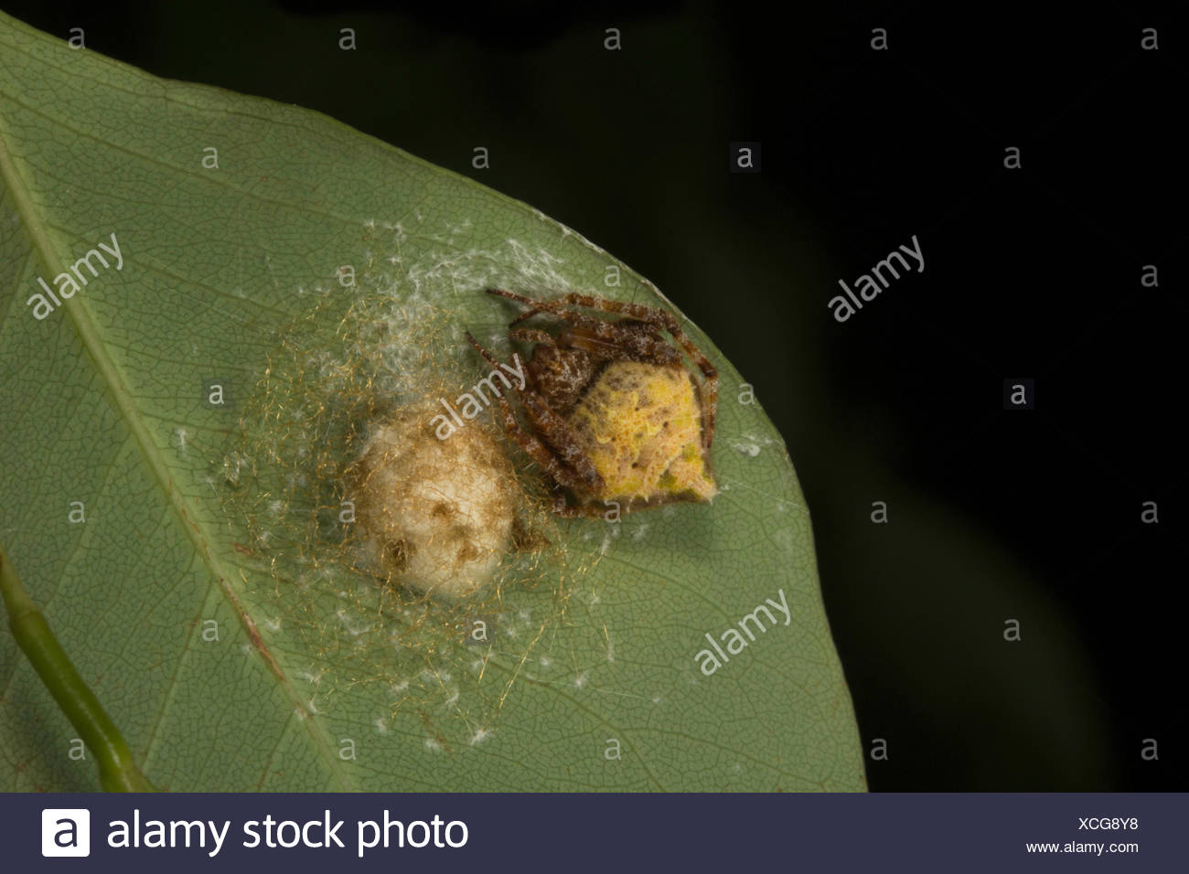 Araneids Stock Photos & Araneids Stock Images - Alamy