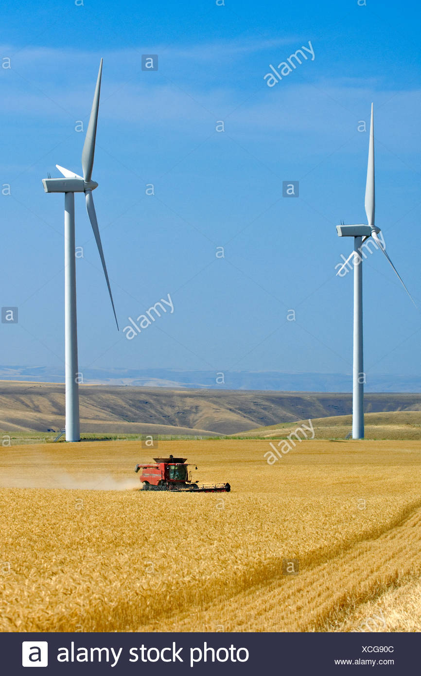 A Case IH combine harvests wheat with two large wind turbines in the background along the perimeter of the field / USA. - Stock Image