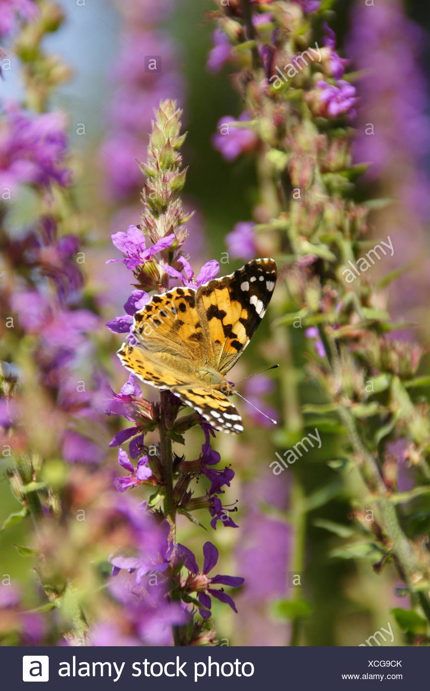 Painted Lady (vanessa cardui) - Stock Image