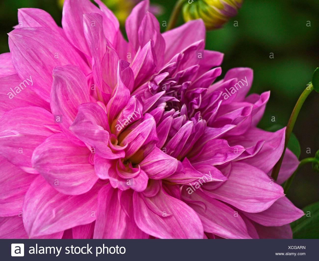 Purple pink dahlia flower there are 42 species of dahlia with purple pink dahlia flower there are 42 species of dahlia with hybrids commonly grown as garden plants izmirmasajfo