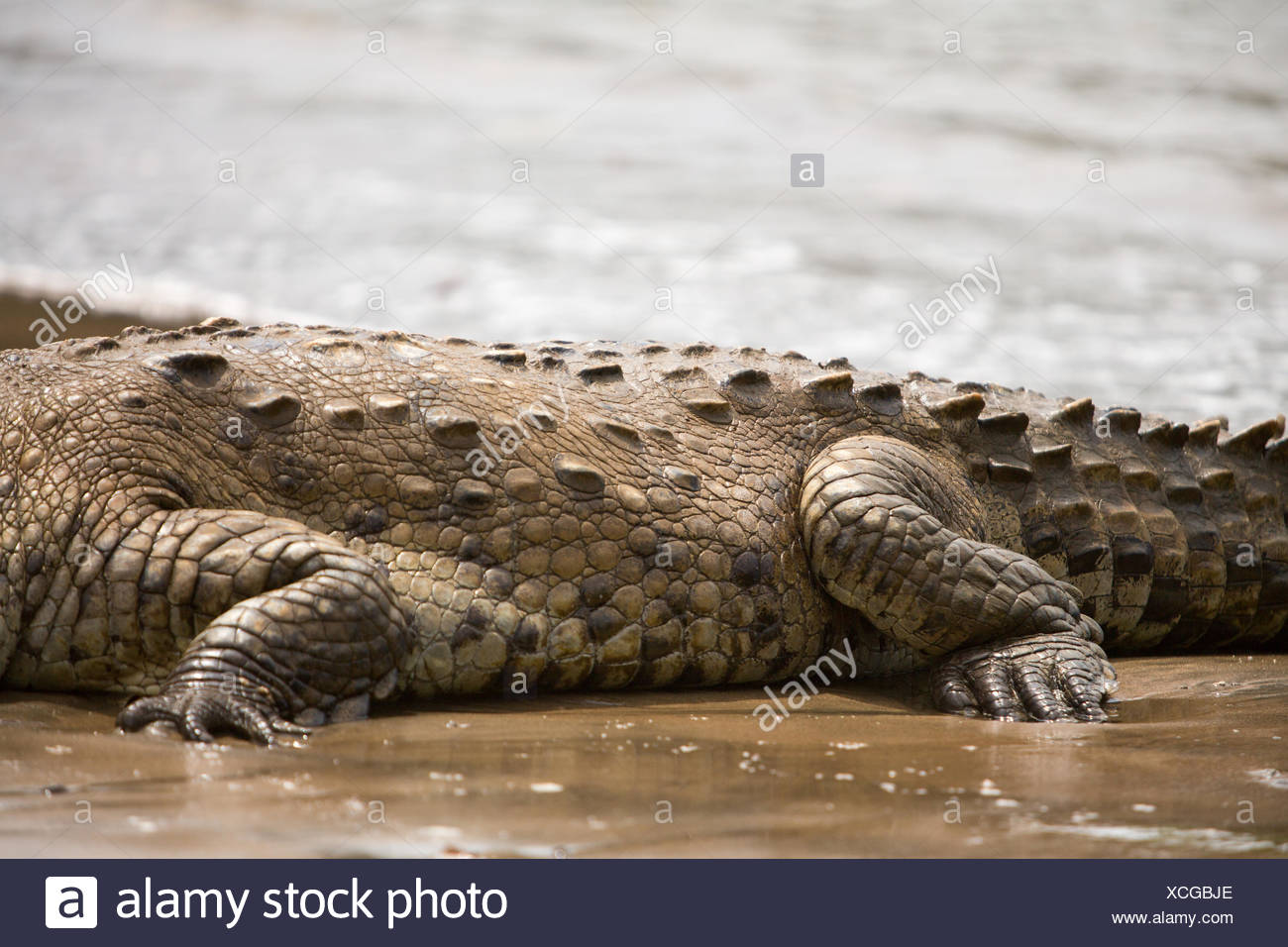 In Isla Coiba National Park,the details of an american crocodile's tough,scaly skin is visible resting in the water. Stock Photo