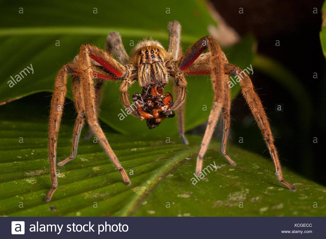 Portrait of a tarantula spider on a leaf. - Stock Image