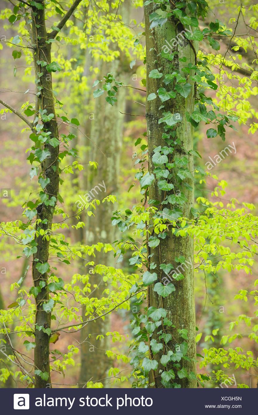 common hornbeam, European hornbeam (Carpinus betulus), spring forest, ivy climbing at a tree stem, Germany, Bavaria, Spessart - Stock Image