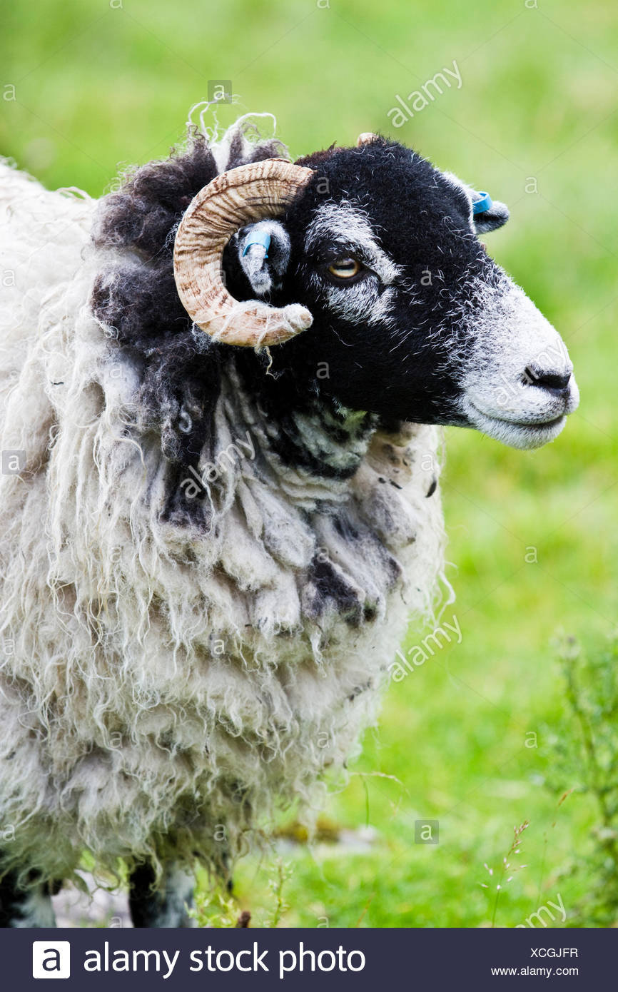 Scottish Blackface Sheep Yorkshire Dales England United