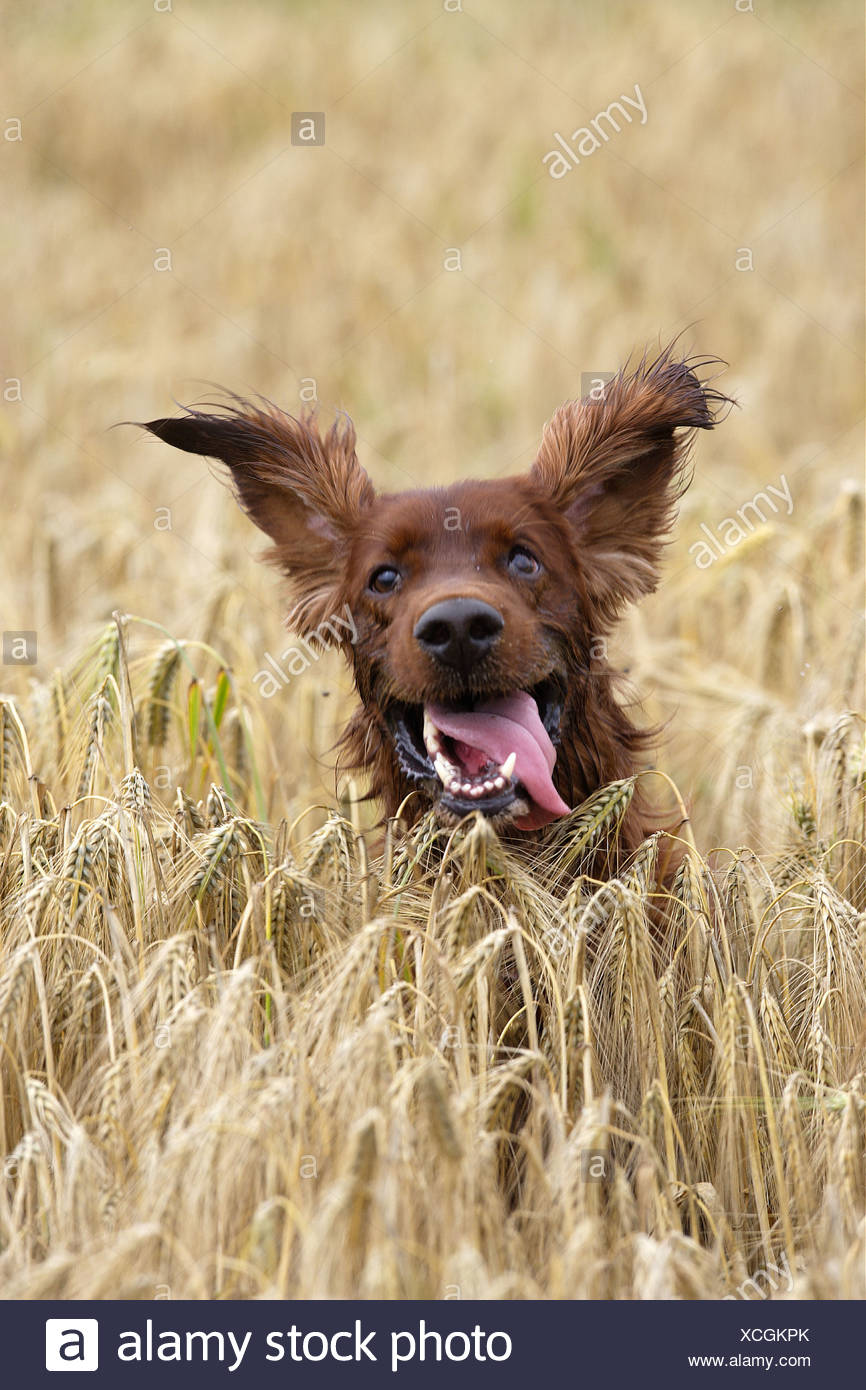 Irish Setter dog in cornfield Stock Photo