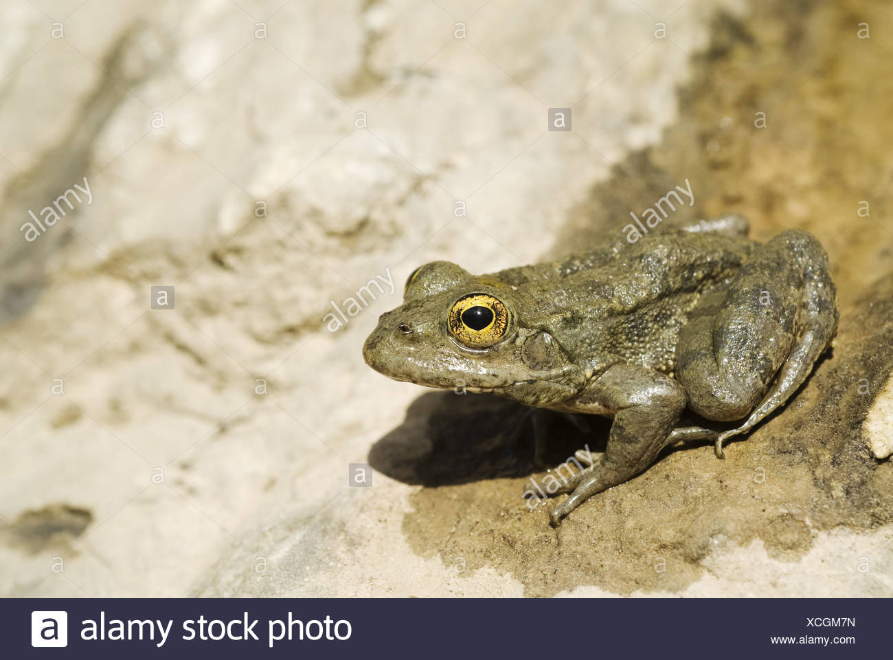 Karpathos waterfrog (Rana cerigensis), endemic, Greece, Krpathos Stock Photo