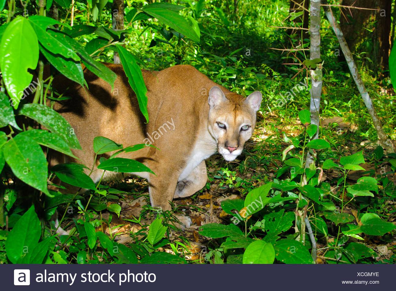 Central American Puma (Felis concolor), tropical rain forests, Belize, Central America Stock Photo