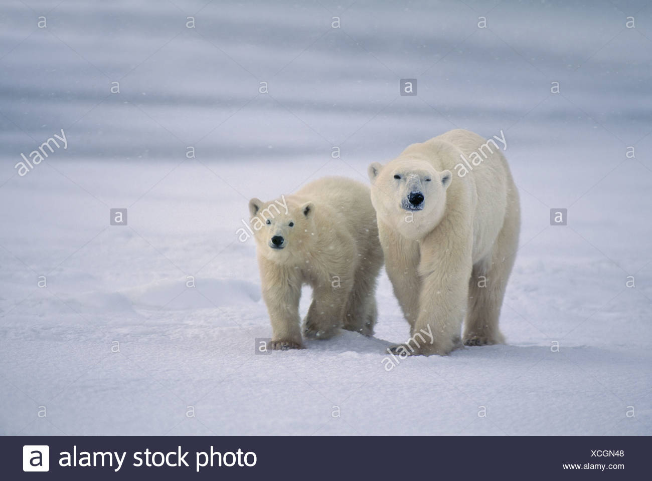 Hudson Bay Canada Polar bear mother young Ursus maritimus Hudson Bay - Stock Image