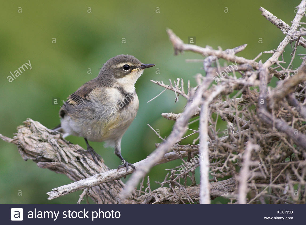 Cape wagtail (Motacilla capensis), portrait, South Africa, Cape Province - Stock Image