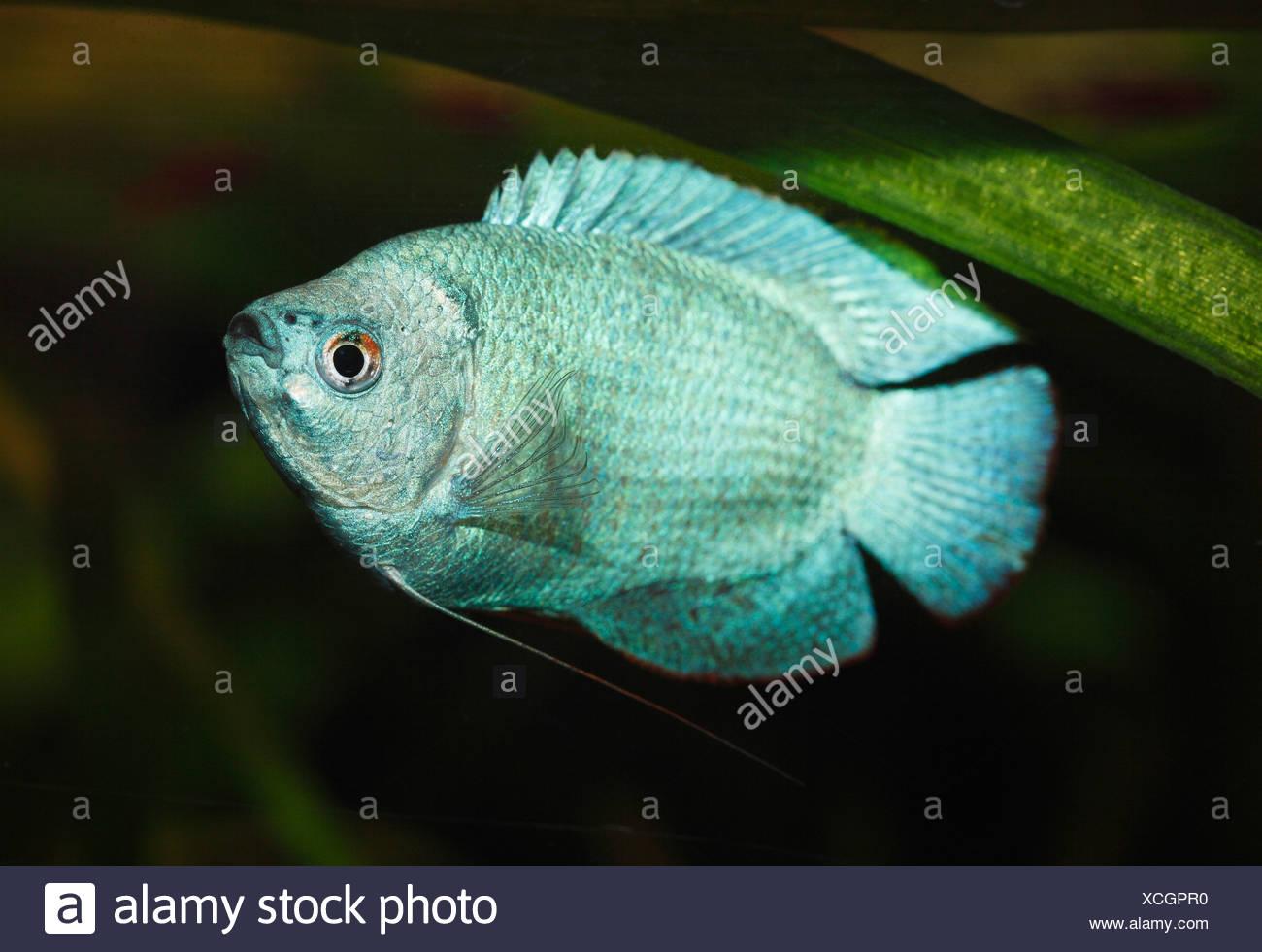Germany, Dwarf gourami swimming in aquarium freshwater - Stock Image