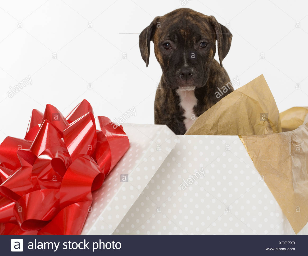 Pitbull Terrier puppy in gift box - Stock Image