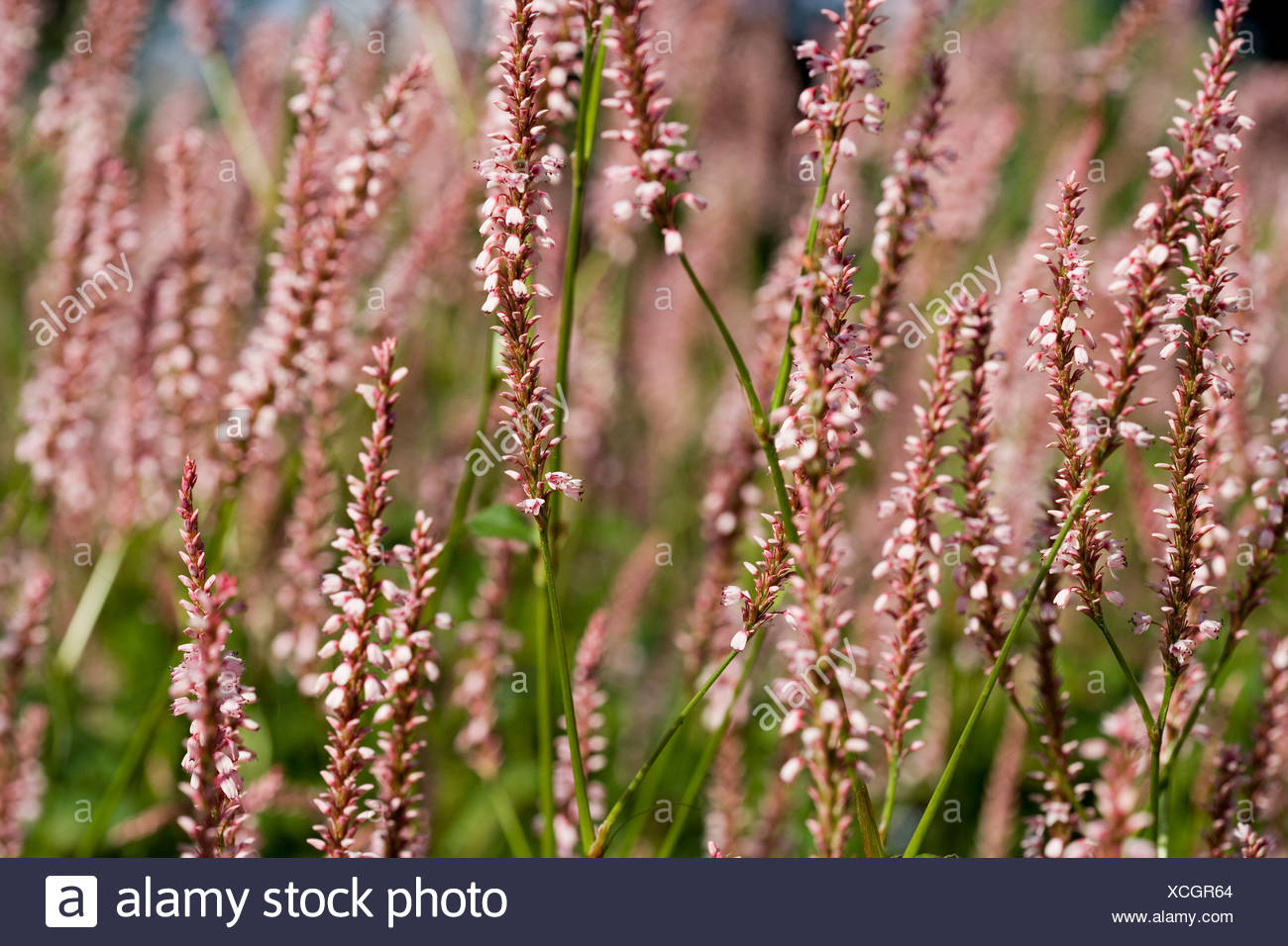 Pink Flowers Long Stemmed Flowering Plant Stock Photo 283111196